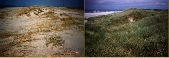 In najaar en winter 1998 is de zeereep ter plaatse van het experiment sterk overstoven. Linksboven september 1998, rechtsboven december 1998, linksonder maart 1999, rechtsonder september 1999. Foto's Cees Smit, Rijkswaterstaat Texel.